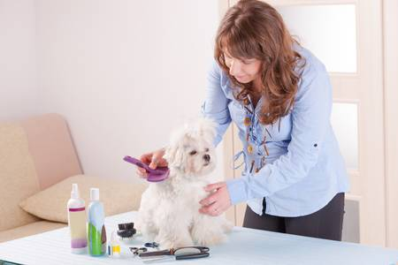Smiling woman grooming a dog purebreed maltese  photo