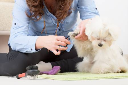 Woman grooming a dog purebreed maltese Stock Photo - 19807984