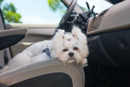 white maltese: Little cute maltese dog in the car on the front seat Stock Photo