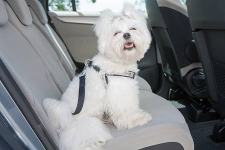 Small dog maltese sitting safe in the car on the back seat in a safety harness Stock Photo