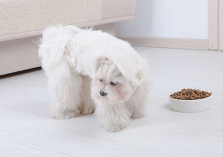 disobey: Little dog maltese refusing eating his food from a bowl in home