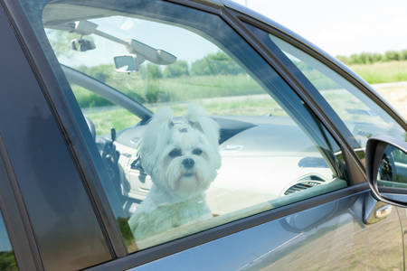 Small dog maltese sitting in a car with closed window Stock Photo