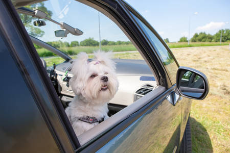 Small dog maltese sitting in a car with open window photo
