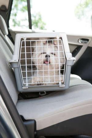 Kleiner Hund Malteser sitzt sicher im Auto auf dem Rücksitz in einem Sicherheits Kiste Standard-Bild