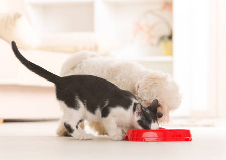 cat eating: Little dog maltese and black and white cat eating food from a bowl in home
