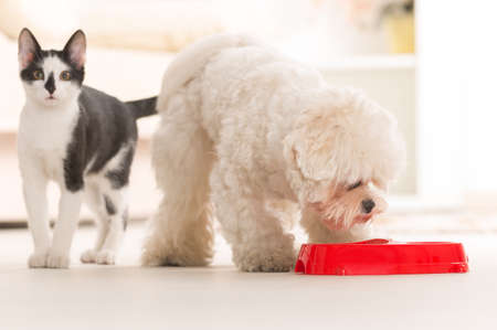 animal feed: Little dog maltese and black and white cat eating food from a bowl in home