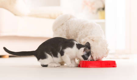 kibble: Little dog maltese and black and white cat eating food from a bowl in home