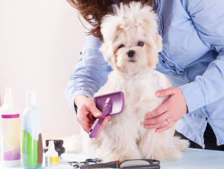 groomer: Woman grooming a dog purebreed maltese