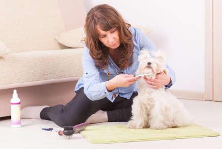 purebreed: Woman grooming a dog purebreed maltese