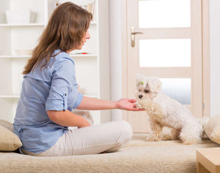 Little dog maltese sitting with his owner on the sofa in home and giving a paw photo