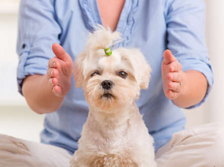 animal practice: Mujer que hace la terapia de Reiki para un perro, una especie de medicina de la energ�a Foto de archivo