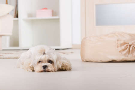 white maltese: Cute young Maltese laying near his bed at home Stock Photo