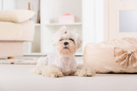 maltese dog: Cute young Maltese laying near his bed at home Stock Photo
