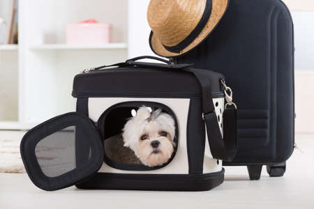 transporter: Small dog maltese sitting in his transporter or bag and waiting for a trip