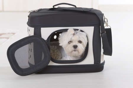 Small dog maltese sitting in transporter or bag and waiting for a trip Reklamní fotografie