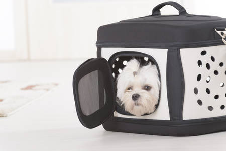 transporter: Small dog maltese sitting in transporter or bag and waiting for a trip Stock Photo