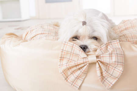 maltese dog: Cute young Maltese laying on his bed at home