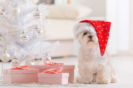 Cute little dog Maltese sitting with gifts near Christmas tree wearing Santa Claus hat photo