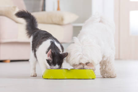 Little dog maltese and black and white cat eating food from a bowl in home photo