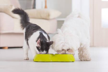 comiendo: Poco gato perro malt�s y negro y blanco de comer comida de un plato en casa