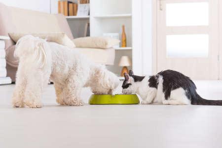 perro comiendo: Poco gato perro maltés y negro y blanco de comer comida de un plato en casa