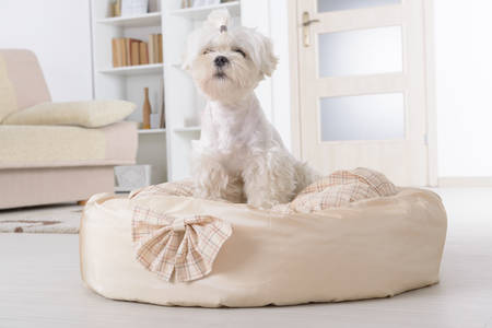 head home: Cute young Maltese sitting on his bed at home