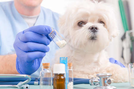 medicina natural: Veterinario que sostiene glóbulos homeopáticos para un pequeño perro maltés Foto de archivo