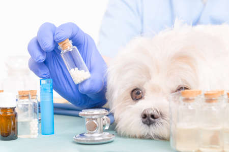 homeopathic: Vet holding homeopathic globules for a little maltese dog