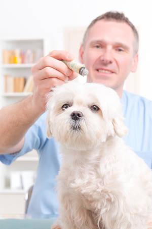 moxa: Vet doing moxa treatment on little dog
