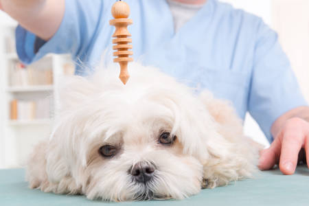 Alternative medicine therapist or vet using pendulum to check dogs health Stock Photo