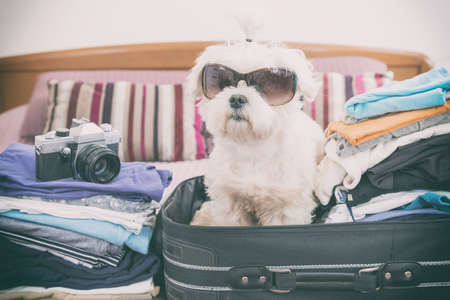 baggage: Small dog maltese sitting in the suitcase or bag wearing sunglasses and waiting for a trip Stock Photo