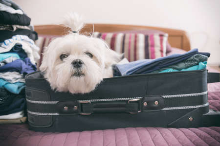 Small dog maltese sitting in the suitcase or bag wearing sunglasses and waiting for a trip Archivio Fotografico