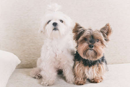 cute dogs: Two cute dogs white maltese and yorkshire terrier on a sofa at home