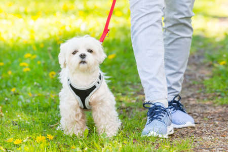 maltese dog: White maltese dog walking with her owner Stock Photo