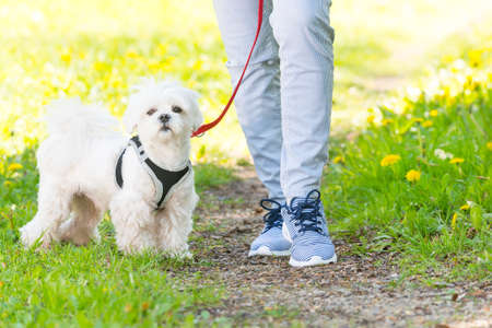 small dog: White maltese dog walking with her owner Stock Photo