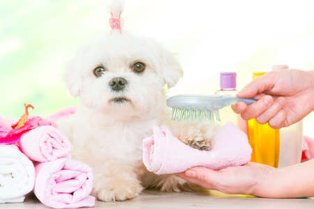 groomed: Little dog at spa being groomed with hairbrush