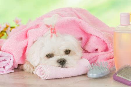 스파 휴식에 작은 강아지 손질 후