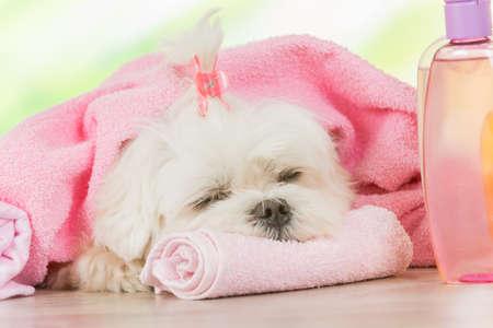 wash: Pequeño perro en el spa de descanso después de la limpieza Foto de archivo