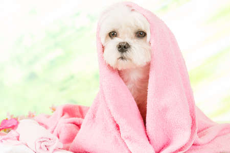 Little dog at spa resting before grooming Stock Photo