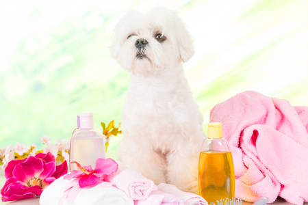 dog grooming: Little dog at spa waiting for grooming