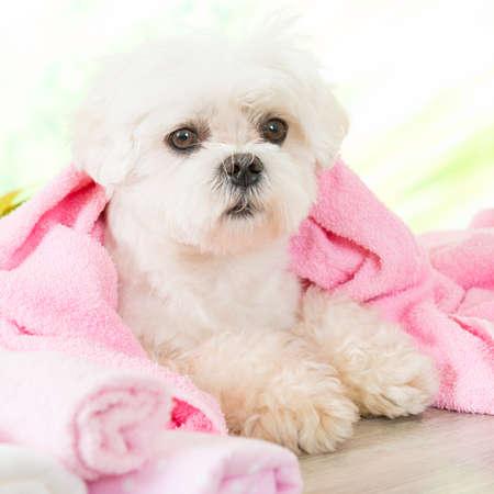 toalla: Pequeño perro en el spa de descanso después de la limpieza Foto de archivo