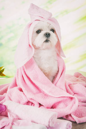 dog grooming: Little dog at spa resting before grooming Stock Photo