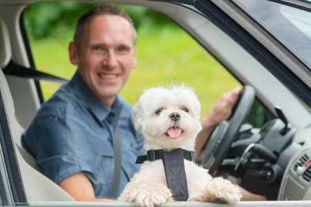 cinturon seguridad: Pequeño perro maltés en un coche con la ventana abierta y su dueño en un segundo plano. Perro lleva un arnés especial del coche del perro para mantenerlo a salvo cuando viaja.