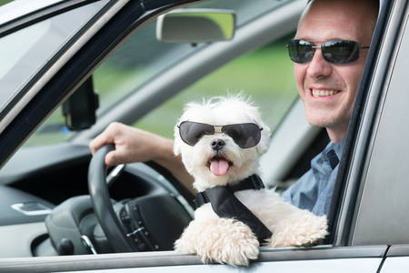 seatbelt: Small dog maltese in a car with open window and his owner in a background. Dog wears a special dog car harness to keep him safe when he travels.