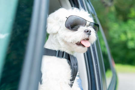 Small dog maltese in a car with open window. Dog wears a special dog car harness to keep him safe when he travels. Stockfoto