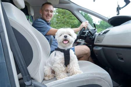 cinturon seguridad: Pequeño perro maltés en un coche de su dueño en un segundo plano. Perro lleva un arnés especial del coche del perro para mantenerlo a salvo cuando viaja. Foto de archivo