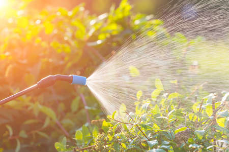 Spaying flowers in the garden with water or plant protection products such as pesticides against diseases and pests Stock Photo