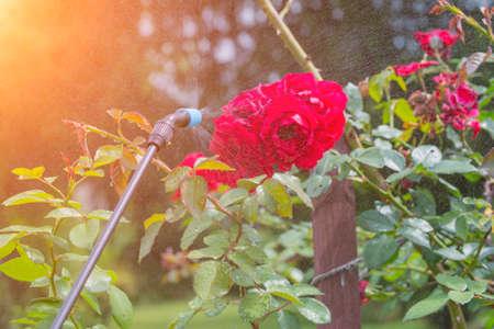 病気や害虫に対する殺虫剤など水や植物保護製品で庭の花を卵巣摘出