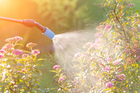 spaying: Spaying flowers in the garden with water or plant protection products such as pesticides against diseases and pests Stock Photo