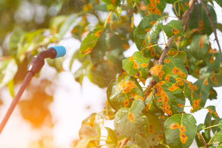 spaying: Spaying tree in the garden with water or plant protection products such as pesticides against diseases and pests